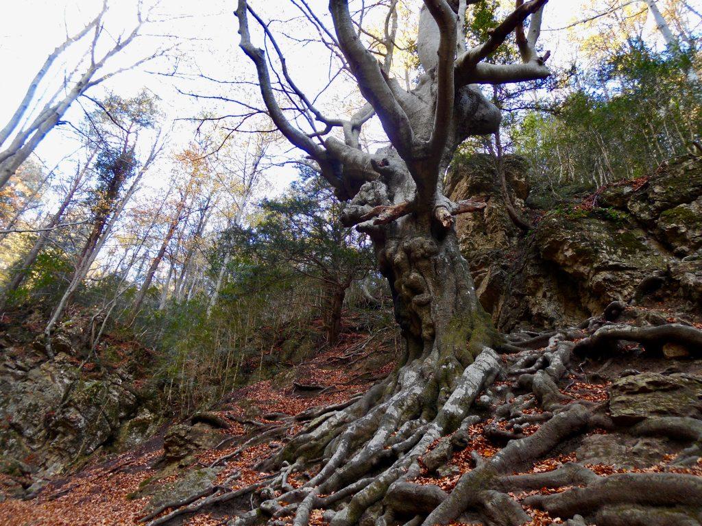 Vista del Faig Pare con sus enrevesadas ramas repletas  de nudos situada en el levante peninsular