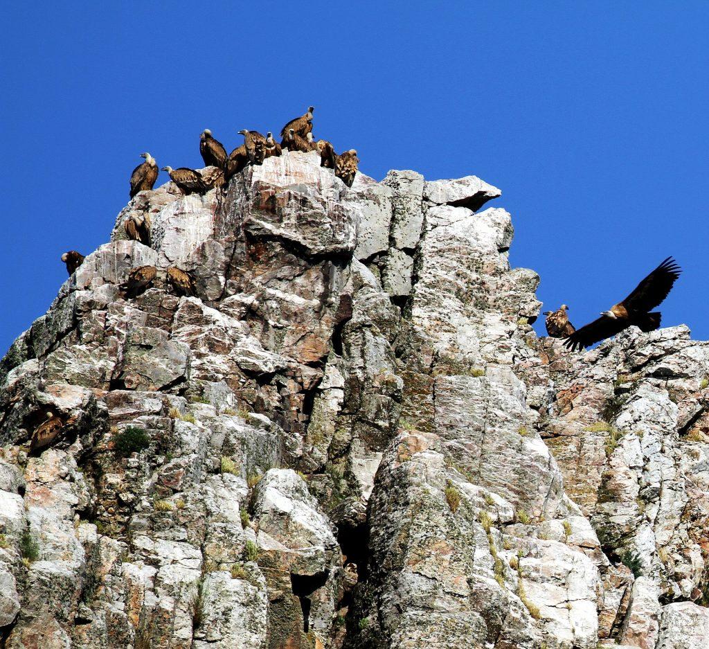 Vistas del asentamiento de buitre leonado sobre los peñascos del Salto del Gitano